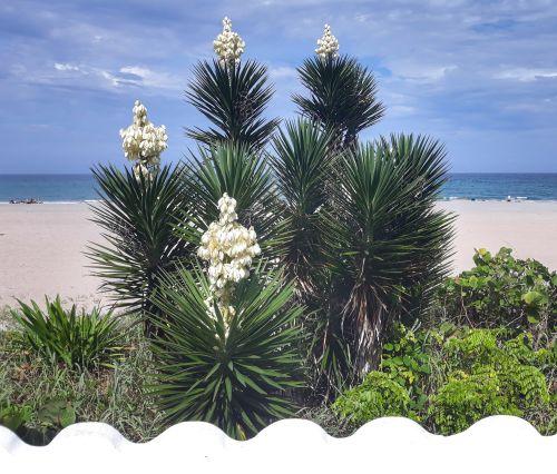 Blühende Yucca-Palmen am Strand