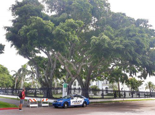 Dies sind Birkenfeigen (Ficus benjamini) am Flagler Museum