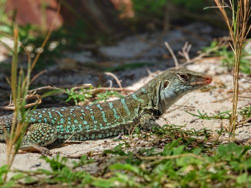 Antiguan Ground Lizard, eine Art, die nur auf Antigua und Barbuda vorkommt