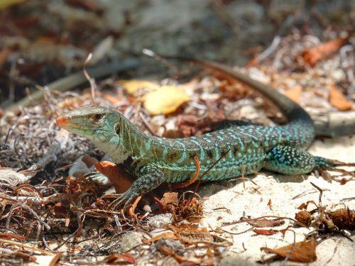 Noch einmal ein Antiguan Ground Lizard