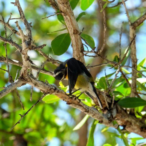 Ein Zuckervogel (Bananaquit) putzt sich verborgen im lichten Laubdach der Bäume
