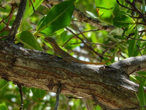 Eine Anolis - eine kleine baumbewohnende Echse