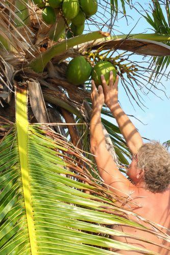 Frank pflückt Kokosnüsse, zum Glück sind die Kokospalmen noch nicht so groß