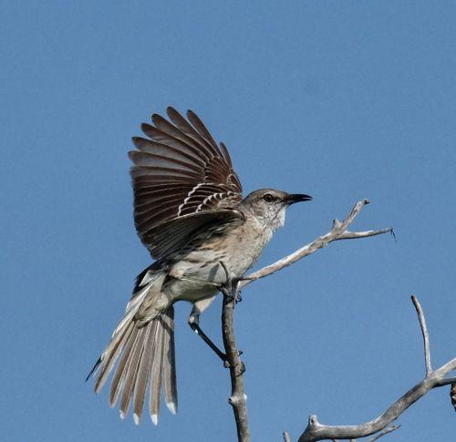 Und fliegt immer mal auf und nieder. Dabei ist er in Kontakt mit zwei weiteren Mockingbirds.