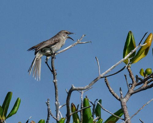 Der Bahama-Mockingbird begrüßt uns schon von weitem mit seinem Gesang
