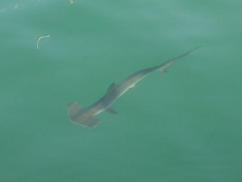 Ein junger Hammerhai neben SAI MANGALAM im Hafenbecken