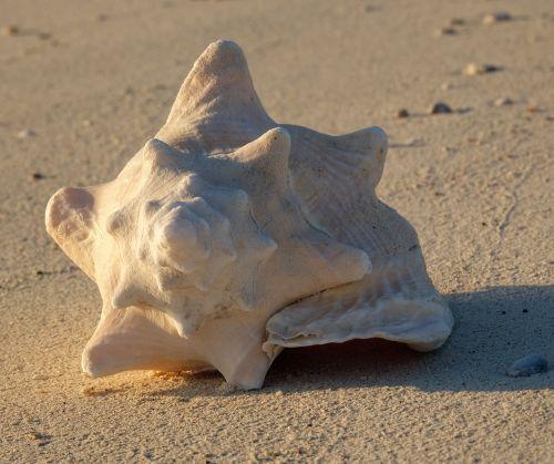 Queen Conch, von alters her ein Symbol für Frieden, Freude und Leben