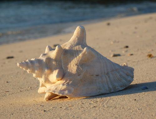 Riesenflügelschnecke - Queen Conch